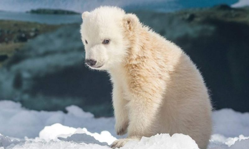 Zoo Har Fået En Lille Isbjørne Unge
