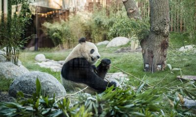 Panda Zoologisk Have Foto Rasmus Kramer Schou