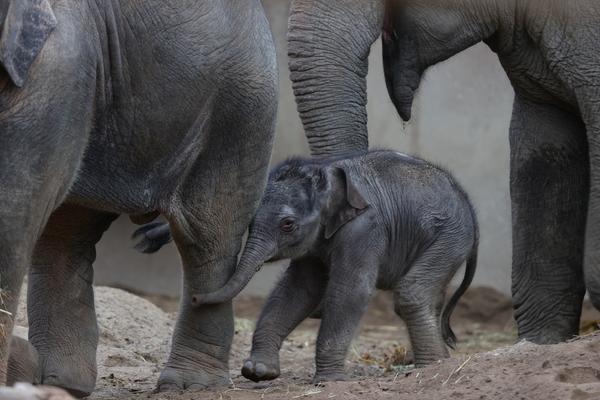 Ny elefantunge i ZOO Foto Frank Rønsholt