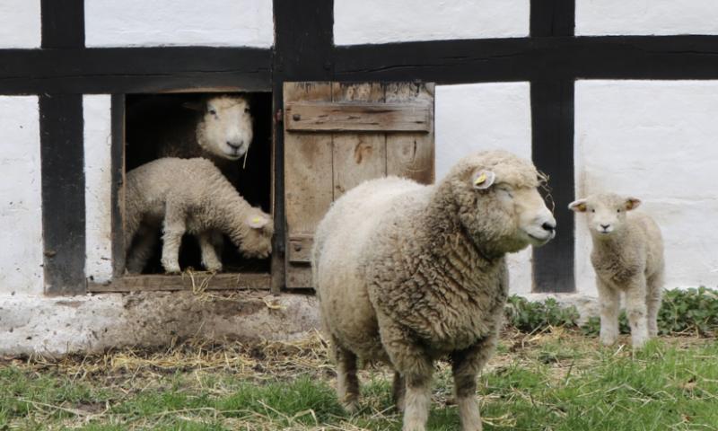 I påsken kan du hilse på søde lam på Frilandsmuseet. Foto: PR